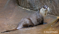0508-1001  Cape Clawless Otter (African Clawless Otter or Groot Otter), Aonyx capensis capensis  © David Kuhn/Dwight Kuhn Photography.