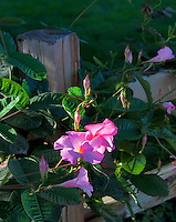 Pink Allamanda, 'Alice Dupont', (Mandevilla x amoena) growing on fence. Napa Valley, California