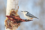 White-breasted nuthatch perched on white-tailed deer scraps.