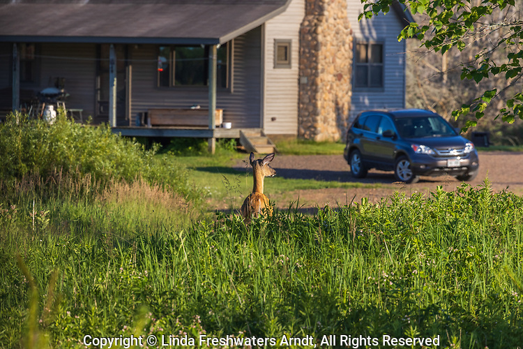 White-tailed doe standing next to a homestead in northern Wisconsin.
