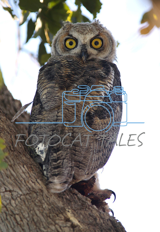 A young horned owl on Saturday, June 25, 2011 in Palm Desert, Ca..Photo by Cathleen Allison