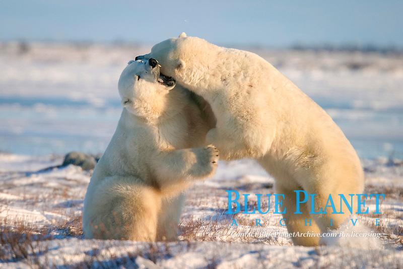 Male Polar Bears, Ursus maritimus, engaged in ritualistic mock fighting (serious injuries are rare), near Churchill, northern Manitoba, Hudson Bay, Canada, polar bear, Ursus maritimus