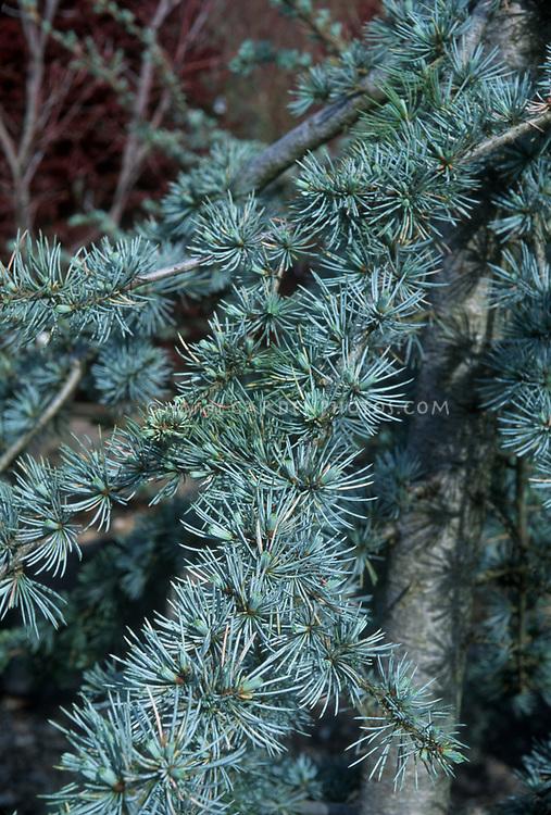 Cedrus atlantica Blue Cascade, evergreen conifer tree with blue needles