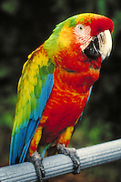 "Closeup of a macaw in """" Parrot Jungle"""" , tourist attraction. Florida, Parrot Jungle."