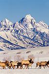 Elk Herd, Wyoming, USA