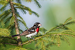 Immature (1st year) male rose-breasted grosbeak perched in a spruce tree.