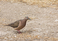 Eared dove, Zenaida auriculata, at Jerusalem Park, Ecuador