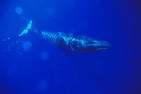 sei whale, calf Balaenoptera borealis Azores Islands, Portugal, North Atlantic Ocean