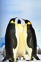Three large Emperor Penguins standing together on the ice. These penguins are part of the Riiser-Larsen Colony on the Weddell Sea in Antarctica.