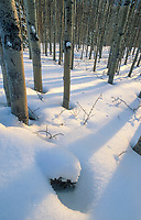 Quaking aspens of the boreal forest and a snow covered forest floor, Interior, Alaska.