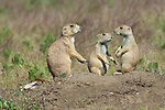 Three black-tailed prairie dogs at a burrow in Custer State Park, South Dakota.