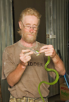 British herpetologist Mark O'Shea milks the venom of a Sunda Island pitviper, Cryptelytrops insularis, at Bakhita Mission, near Eraulo, Ermera District, Timor-Leste (East Timor)