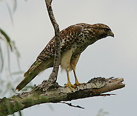 Red-shouldered hawk juvenile in tree. This young bird learning to hunt made a pass at ducks on a pond.