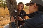 Cheetah (Acinonyx jubatus) biologists, Kim Young-Overton and Xia Stevens, placing camera trap on tree, Kafue National Park, Zambia
