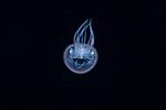 Diamond Squid, Thysanoteuthis rhombus