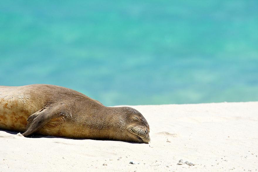 North America, USA, Hawaii, Midway Atoll. Endangered Hawaiian Monk Seal napping on a beach