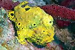 Antennarius multiocellatus, Longlure frogfish, Dominica