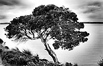 This tree is over 500 years old the photo was taken at Nepean Bay Kangaroo island South Australia