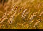 Sedge Grass at Sunset, Silver Salmon Creek, Lake Clark National Park, Alaska