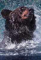 609682382v a wild adult brown bear ursus arctos explodes from a river and shakes as it hunts for salmon near hyder alaska