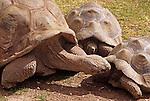 Group of Giant turtles interacting at the Phoenix zoo Phoenix Arizona State USA