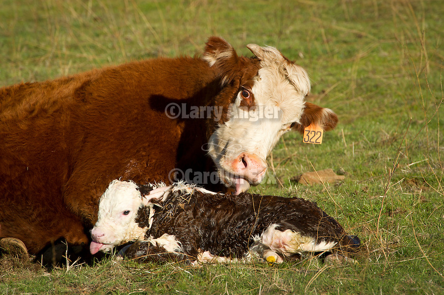 Cow No. 322 licks and bonds with her newborn calf at the Stoney Creek Corrals of the Busi Ranch, Amador County, Calif.