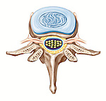 Lumbar vertebrae