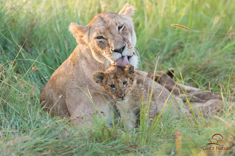 Lion cub (Panthera leo) doesn't appreciate his mother's attention to hygiene, Masai Mara, Kenya