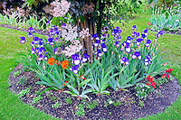 """Iris display gardens with iris in round """"Art Deco"""" variety.. Schreiner's Iris Gardens"""