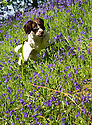 21/05/15<br /> <br /> As the sun makes a welcome return, seven-month old, springer spaniel, Chester, leaps for joy in a bluebell wood in Snelston, Derbyshire.<br /> <br /> All Rights Reserved: F Stop Press Ltd. +44(0)1335 418629   www.fstoppress.com.