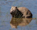 Wombat Grazing on Water Reeds<br /> Tarn Shelf,<br /> Mt Field NP <br /> Tasmania