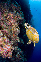 hawksbill sea turtle, Eretmochelys imbricata, Layang Layang Atoll, Malayasia, South China Sea