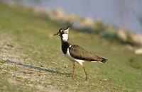 Kiebitz, Vanellus vanellus, lapwing