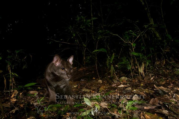 African Golden Cat (Caracal aurata aurata) grey morph sub-adult male in rainforest, Kibale National Park, western Uganda
