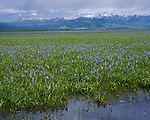 Camas County, ID: Flowering camas on the Camas Prairie Centennial Marsh with Soldier Mountains in the distance