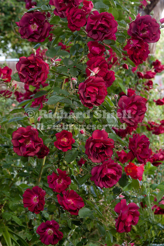 ROSA HYBRID, DR. HUEY CLIMBING ROSE, ONCE-BLOOMING, ROOTSTOCK, BAKERSFIELD