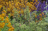 Flowering oregano herb (Origanum vulgare) in garden bed with yellow Kangaroo Paw; Schneck Garden