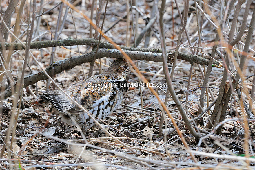 00515-072.09 Ruffed Grouse is on the ground in typical lowland habitat.  Hunt, ruff, aspen, alder, willow, partridge.