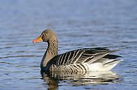 Graugans, Grau-Gans, Gans, Anser anser, graylag goose, grey lag goose