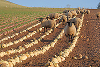 Suffolk cross replacement ewe lambs on roots, Bonchester Bridge, Hawick, Scottish Borders. Suffolk cross replacement ewe lambs.