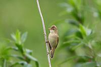 Sumpfrohrsänger, Sumpf-Rohrsänger, Rohrsänger, Acrocephalus palustris, marsh warbler, La Rousserolle verderolle