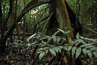ucuúba, ucuúba-branca, ucuúba- cheirosa, ucuúba-de-igapó, ucuúba-da-várzea, ucuúba- verdadeira, bicuíba, bicuíba-branca, árvore-de-sebo, virola; <br /> Ocorre na Costa Rica, Panamá, Antilhas Menores, Trinidad, Tobago, Guiana Francesa, Suriname, Guiana, Venezuela, Colômbia, Equador, Peru, Bolívia e Brasil. No Brasil, é encontrada nos estados do Acre, Amazonas, Rondônia, Roraima, Amapá, Pará, Tocantins, Maranhão e Ceará. Habita preferencialmente áreas de várzea e de igapó, acompanhando as margens de rios e igarapés.Salvaterra, Pará, Brasil.<br /> Foto Paulo Santos<br /> 01/11/2008