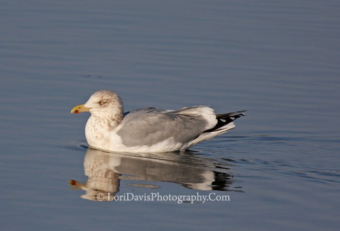Gull in Water #B15