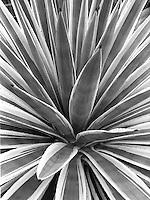 Century plant in black and white.<br /> <br /> Mamiya RB67 Pro SD, 90mm lens, Kodak TMAX 400 film
