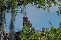 Great Horned Owl (Bubo virginianus), Blue Cypress Lake, Vero Beach, Florida, US