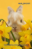 Kim, EASTER, OSTERN, PASCUA, photos,+Baby bunny among daffodils on yellow background.,++++,GBJBWP41607,#e#