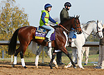 Lady Kate, trained by trainer Eddie Kenneally, exercises in preparation for the Breeders' Cup Distaff at Keeneland Racetrack in Lexington, Kentucky on November 5, 2020.