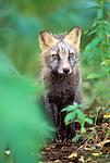 Portrait of a Cross Fox (Vulpes vulpes). Denali National Park, AK