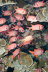 Paradise House Reef, Taveuni, Fiji; an aggregation of Brick Soldierfish (Myripristis amaena) and Epaulette Soldierfish (Myripristis kuntee) hide in a cavern amongst the coral reef
