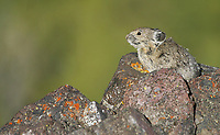 A pika peeks out of its hiding spot on the slopes of Mt. Washburn. I haven't see pikas up there for several years now.
